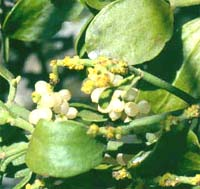Mistletoe has white berries and round leaves.